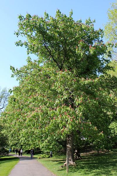 Ellwanger Buckeye Tree in Bloom