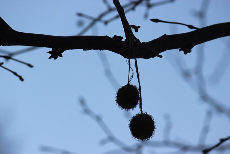 Horse Chestnut Tree Fruit