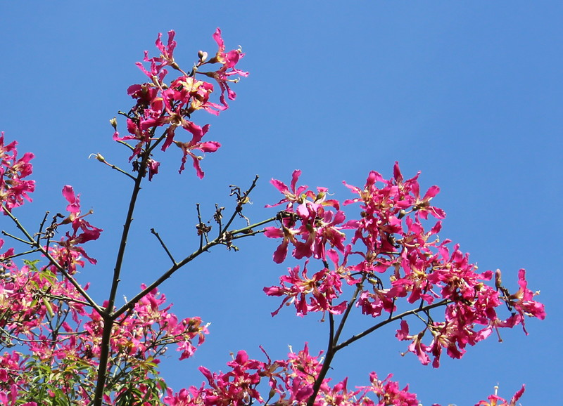 Pink Silk Floss Tree
