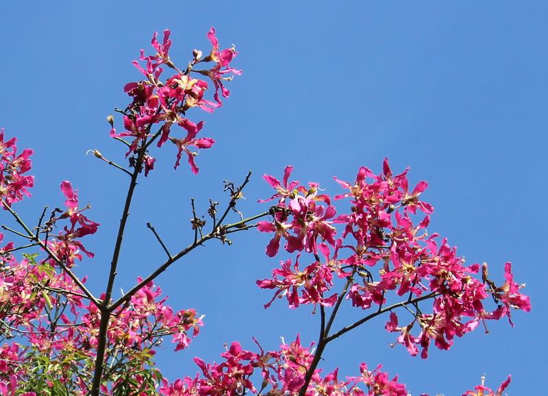 Pink Silk Floss Tree