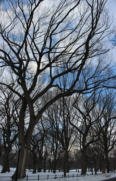 American Elm Trees in Winter