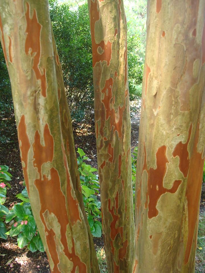 Miami Crepe Myrtle Bark