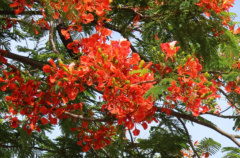 Poinciana Blossoms