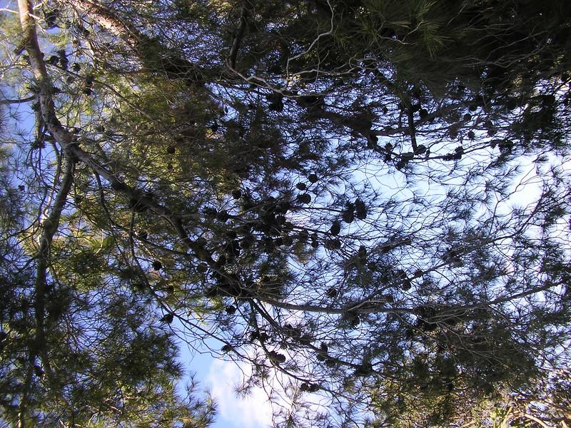 Pine Tree at the British Park