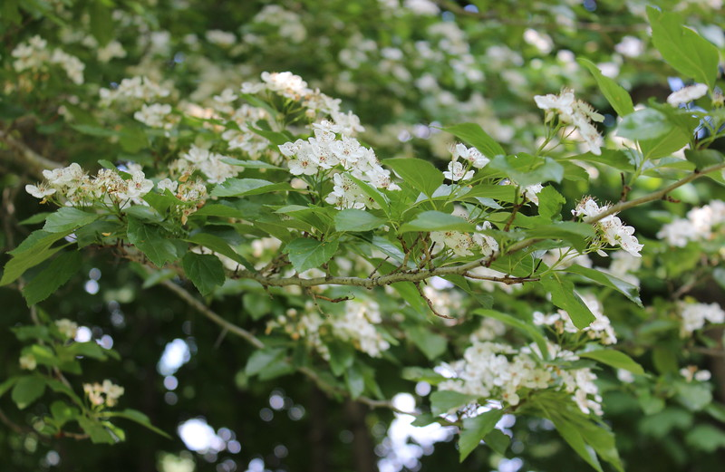 Hawthorne Tree Blossoms