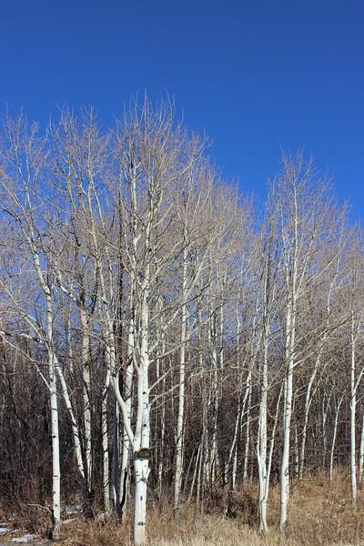 Aspen Trees in November