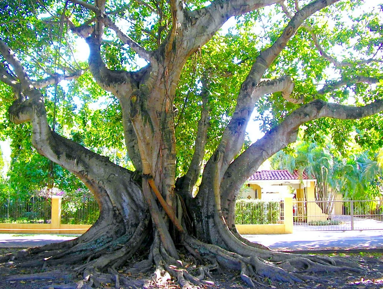 Banyan Tree near Coral Tiled Roof