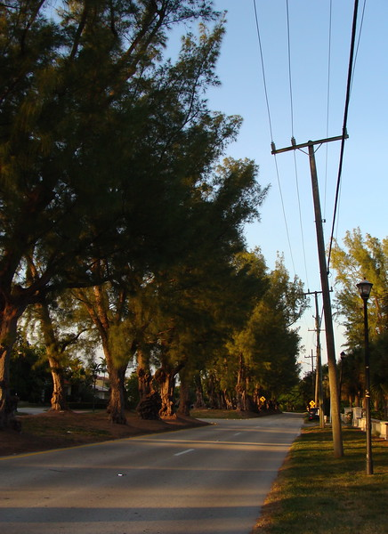 Pine Trees on Pine Tree Drive