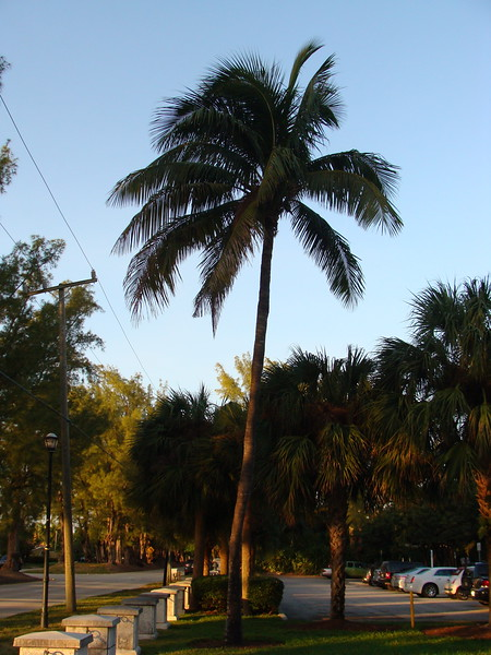 Coconut Palm at Pine Tree Park