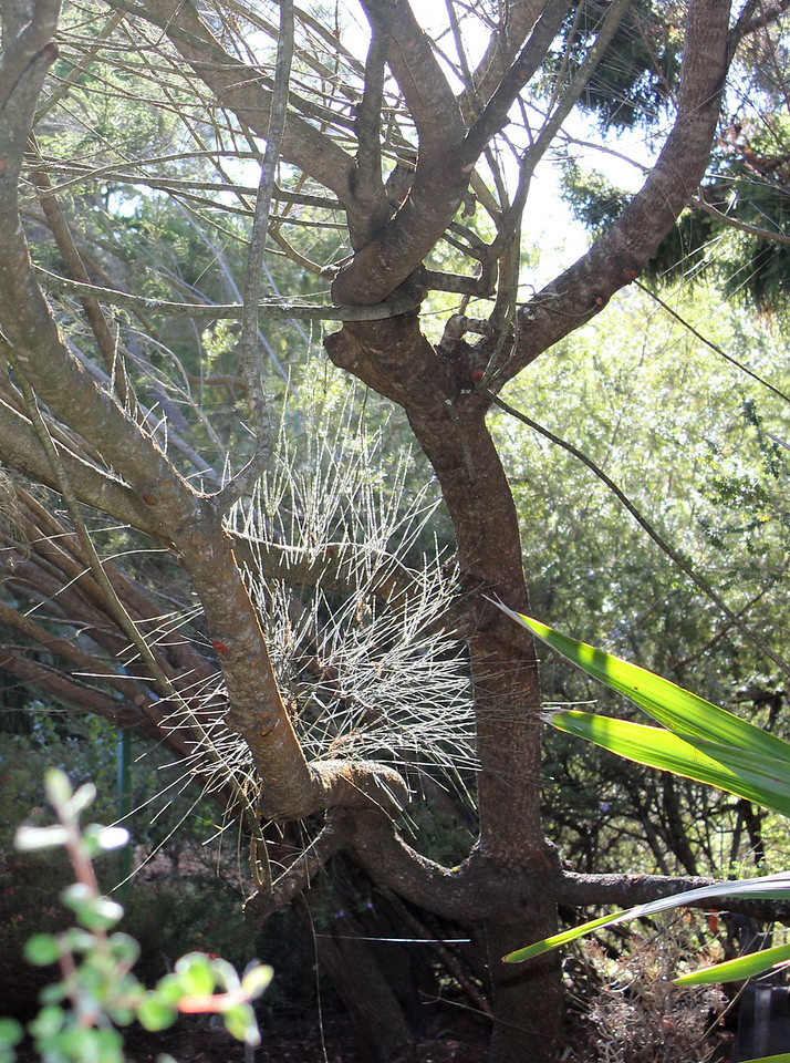 Casuarina Stricta Tree