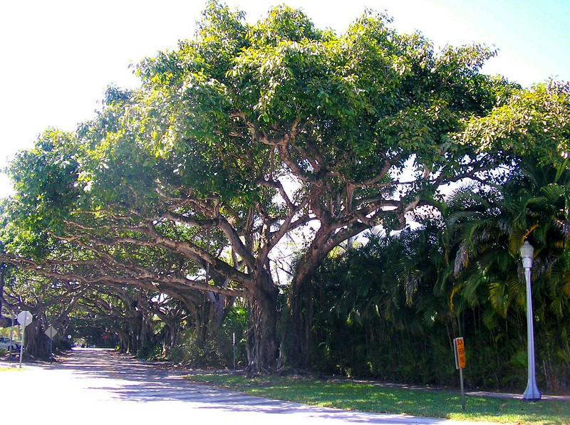Banyan Street Trees