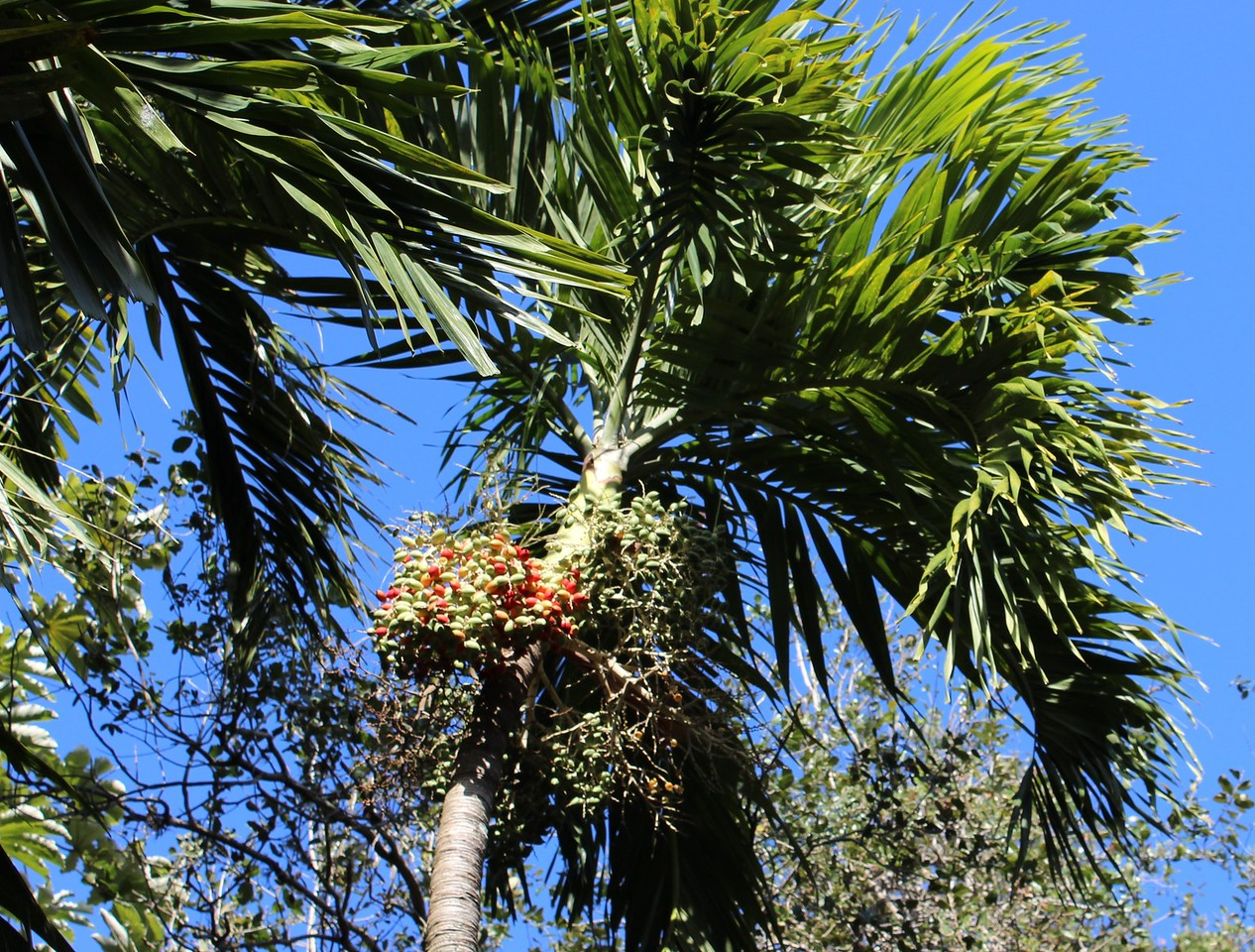 Palm Tree with Fruit