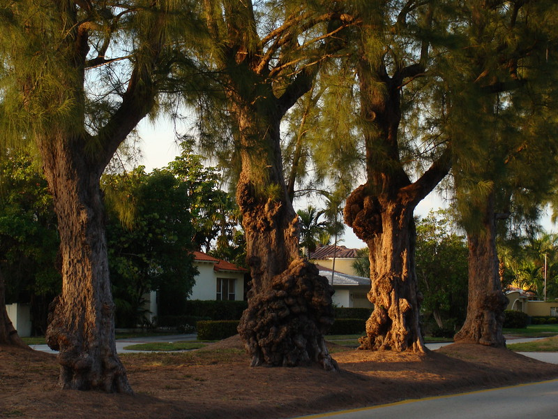 Gnarled Tree Trunks