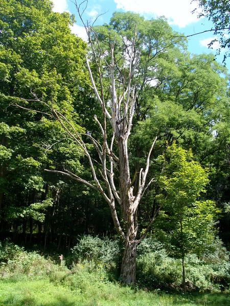 Maple Tree Habitat