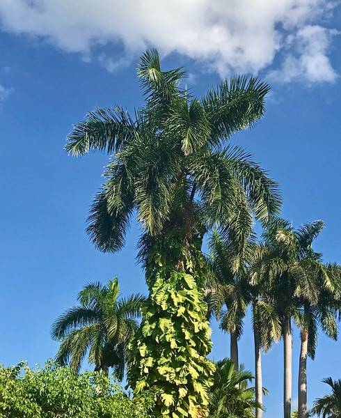 Palm Trees and Vines