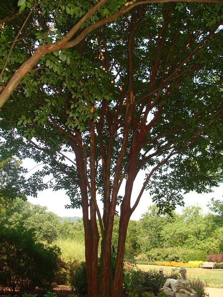 Miami Crepe Myrtle Tree
