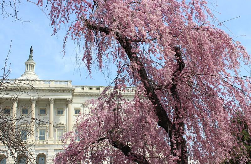 Weeping Cherry Tree  on the Capitol Grounds