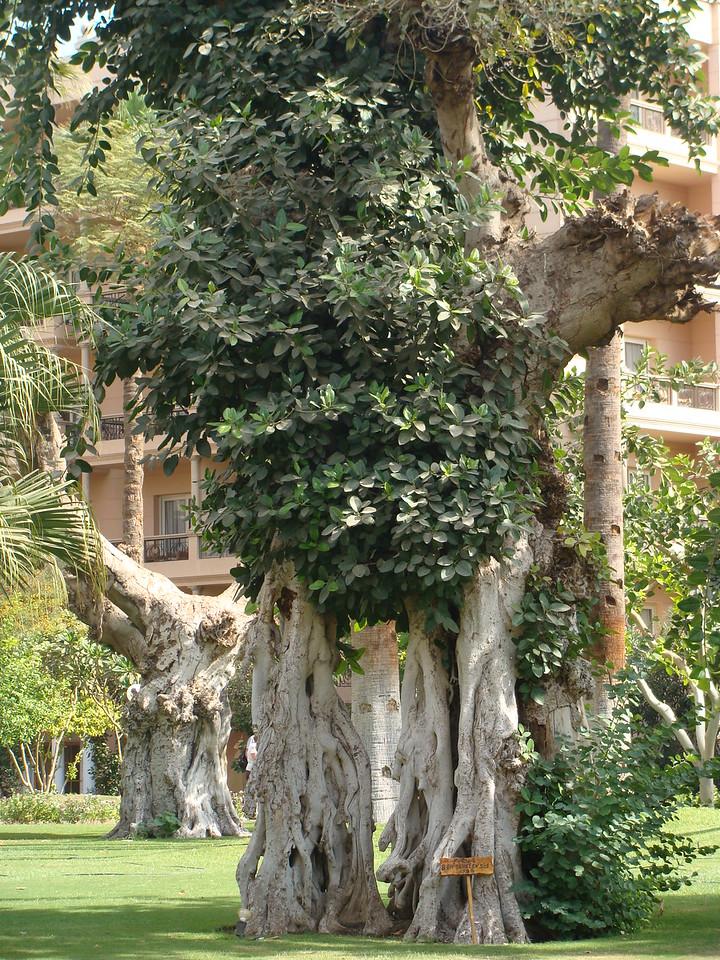 Ficus Bengahelensis