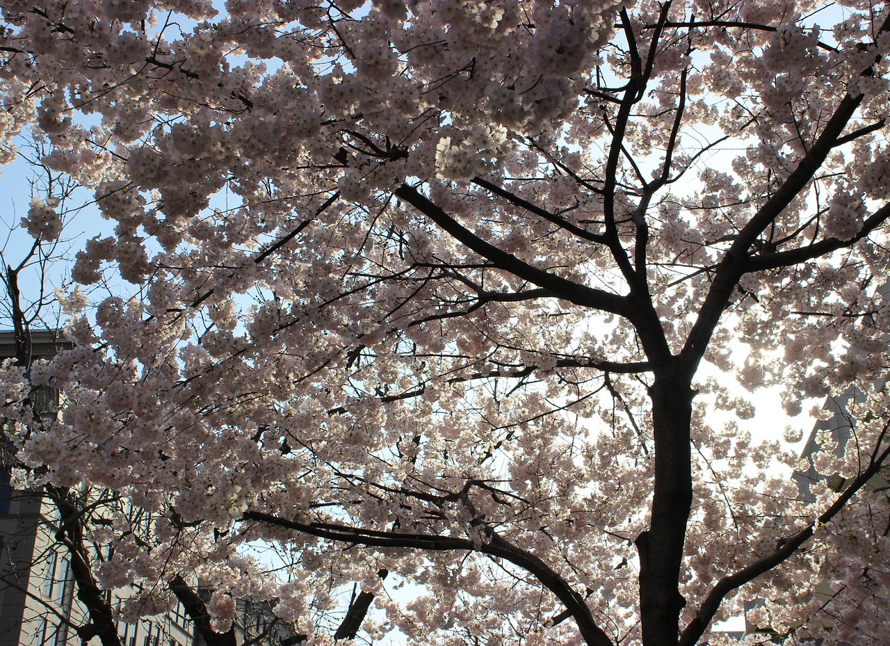Cherry Tree on M Street