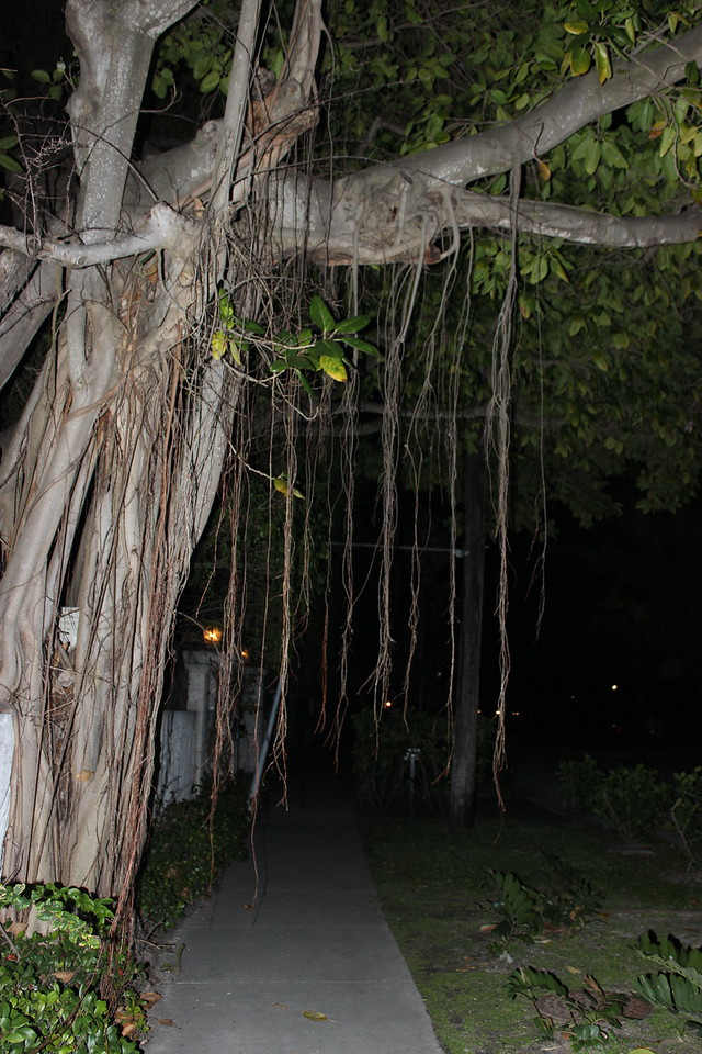 Banyan Tree Aerial Roots