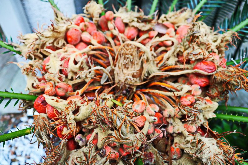 Sago Palm Seeds