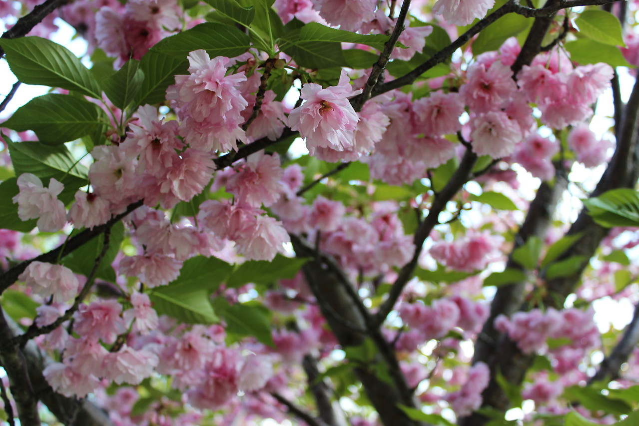 Kwanzan Cherry Tree Blossoms