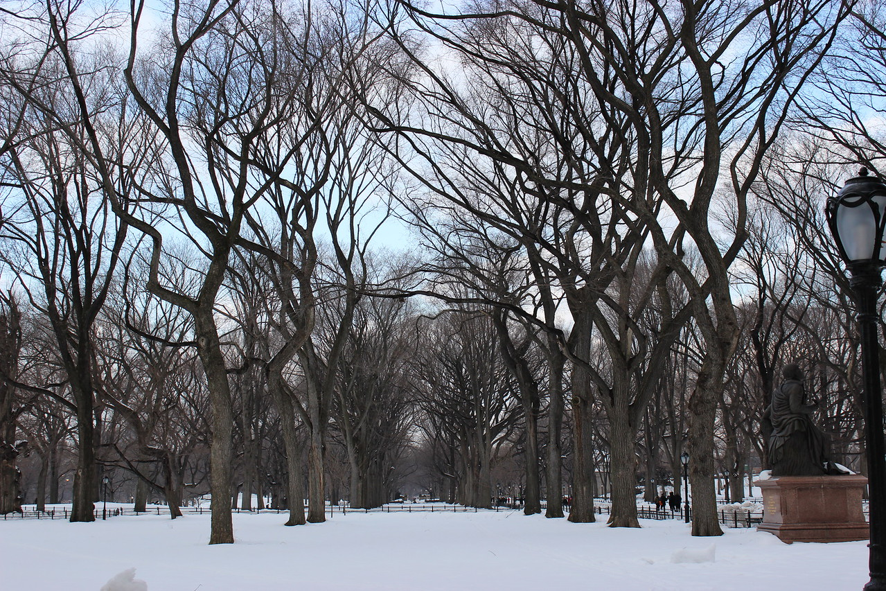 American Elm Trees in Central Park