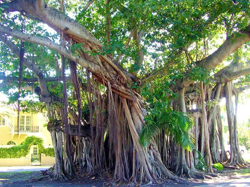 Banyan Aerial Prop Roots