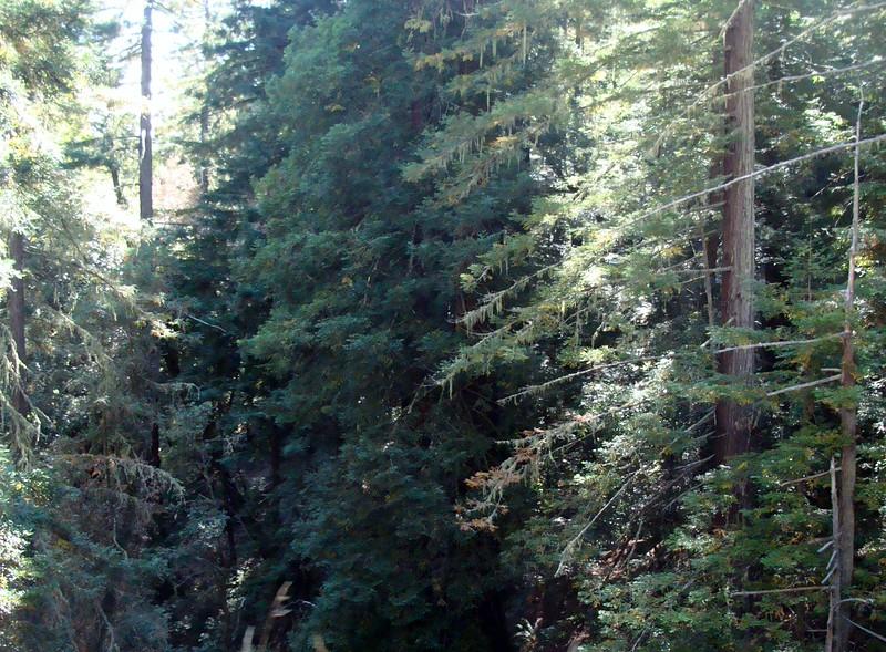 Mt. Tamalpais Woodlands