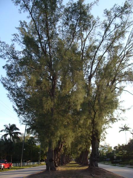 Pine Tree Rows
