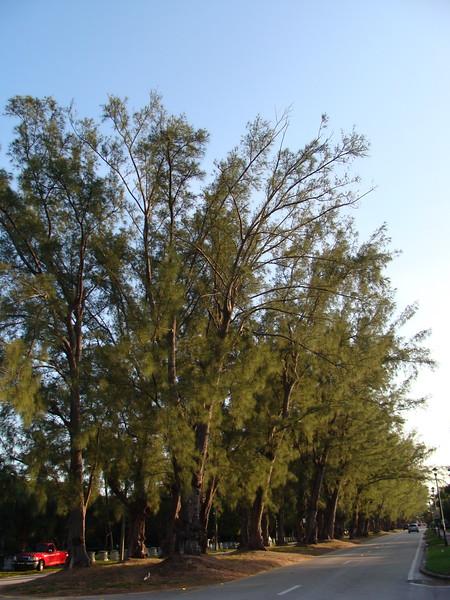 Pine Tree Buffer