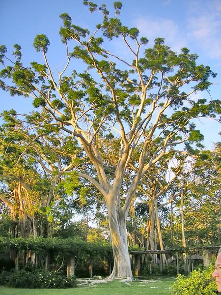 Tufted Tree