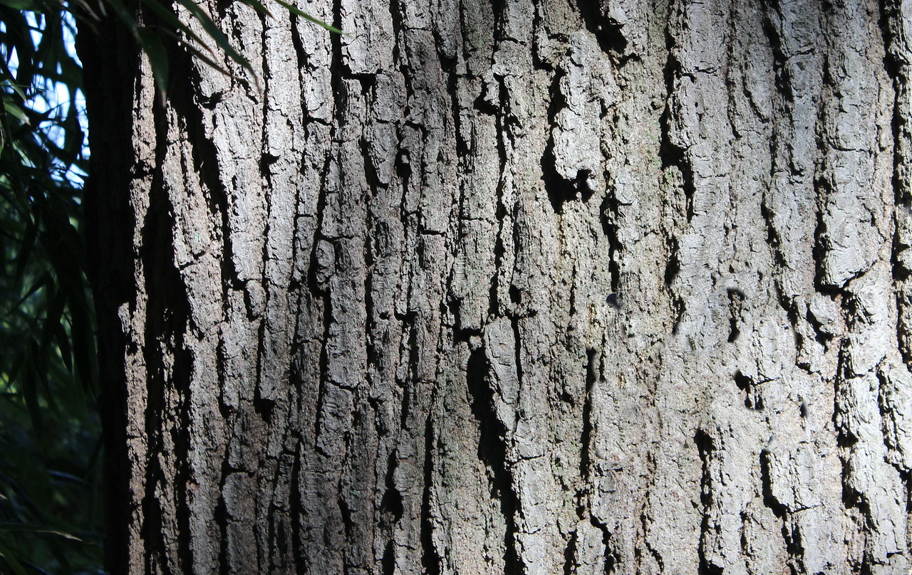 Willow Oak Tree Bark
