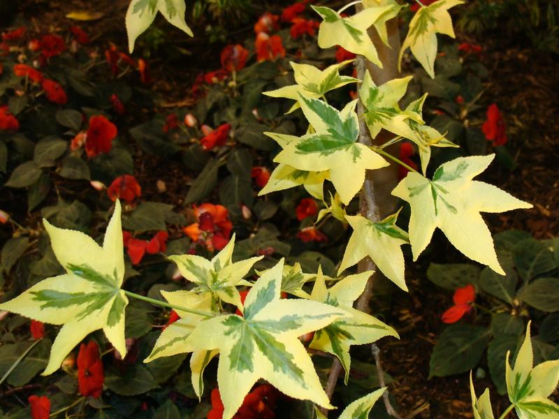 Liquid Amber Silverking Sweetgum Tree