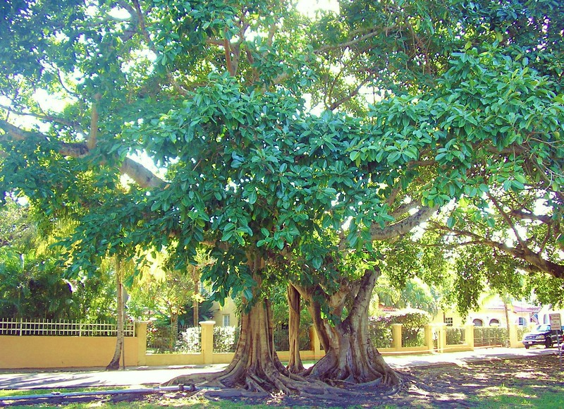Banyan Tree on Alhambra Circle