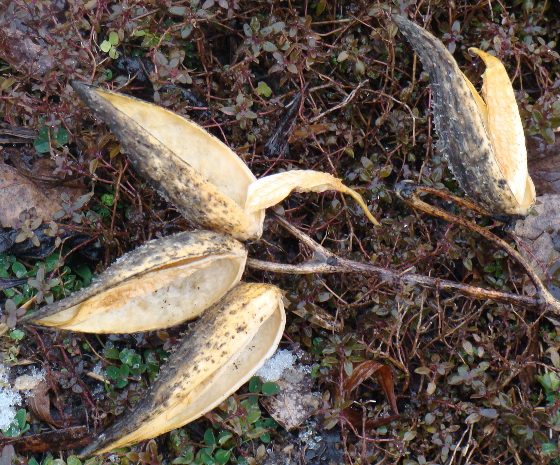 Dried Milkweed Seed Pods