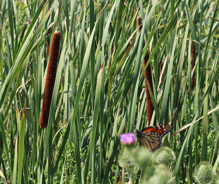 Monarch Butterfly in Wetland