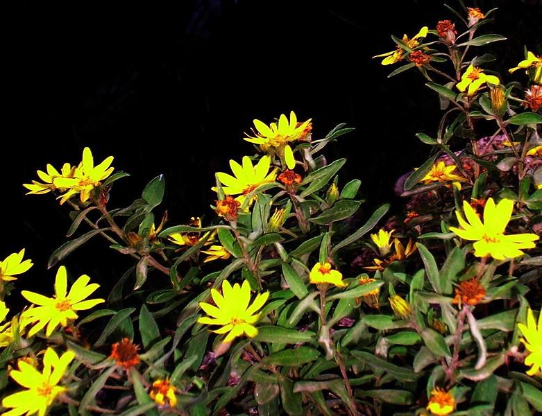 Dwarf Aster Wildflowers
