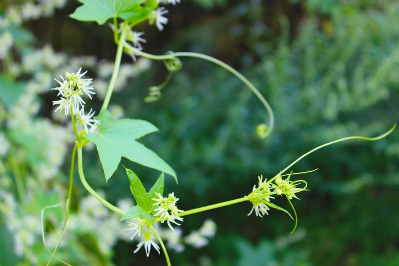 Wild Cucumber Vine Flowers