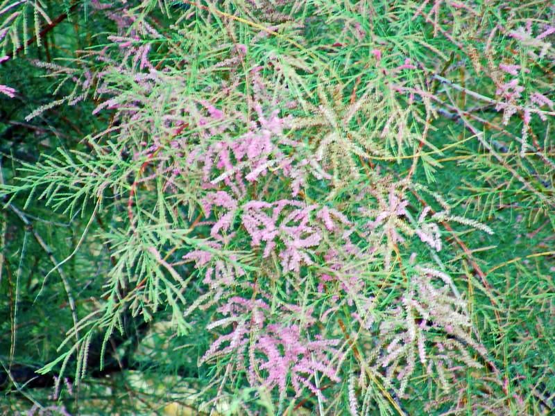Pink Cascade Salt Cedar