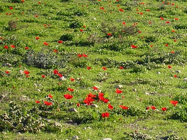 Field of Wild Anemones