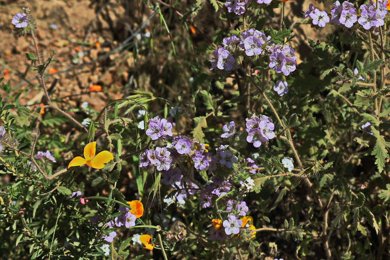 Yellow-Orange Poppies and Purple phacelia