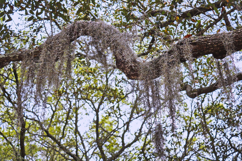 Spanish Moss on a Branch
