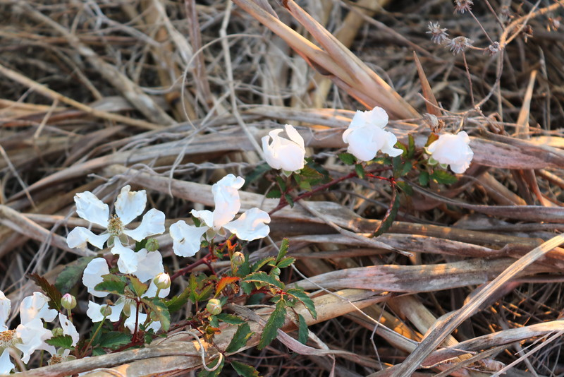 Phlox nivalis on the Dunes