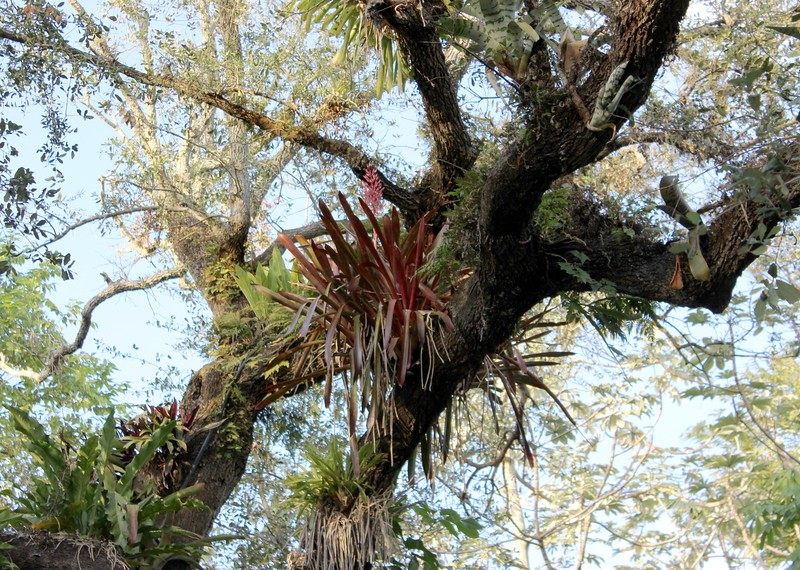 Air Plants in a Tree