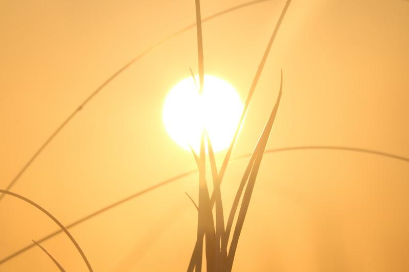 Dune Grass Silhouette in Sun