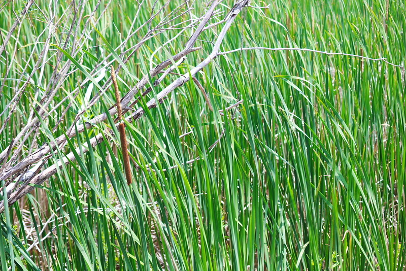 Cattails in the Wetland