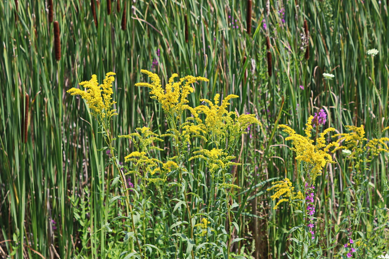 Goldenrod in Wetland