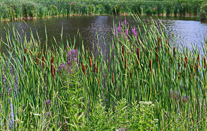 Cattails and Purple Loosestrife at the Pond