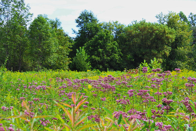 Joe Pye Weed in the Meadow